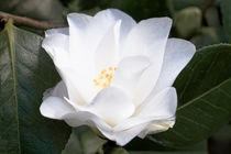 Weiße Kamelie - Camellia japonica-Sämling by Dieter  Meyer
