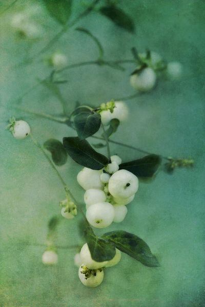 Snowberry