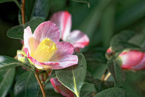 Rosa Kamelie - Camellia x williamsii 'Cupcake' by Dieter  Meyer