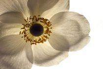 Weisse blüte bel von hinten