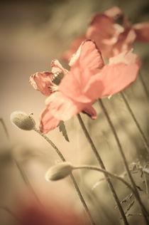 Mohnblumen von Michael Schickert