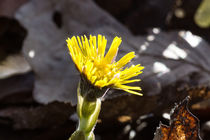 Die gelbe Blüte des Huflattich by Ronald Nickel