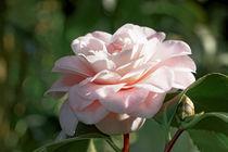 Weiß Rosa Kamelie - Camellia japonica 'Sacco Nova' von Dieter  Meyer