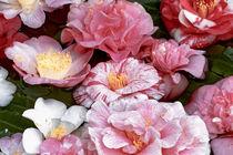 Kamelienblüten im Wasserbecken - Camellia japonica von Dieter  Meyer