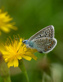 Ein Hauhechel-Bläuling auf gelber Blüte by Ronald Nickel