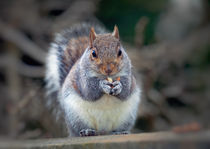 Eastern tree squirrel eating peanuts by Leighton Collins