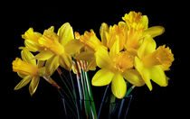 Welsh yellow Daffodils von Leighton Collins