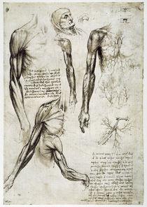 Leonardo / Armmuskeln u.–venen / fol. 141 r von AKG  Images