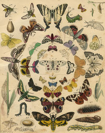 Butterflies / from: Grünewald / 1841 by AKG  Images