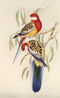 Eastern Rosella / lithograph by J.Gould. by AKG  Images