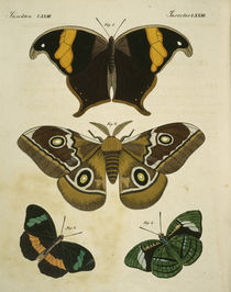 Foreign Butterflies / Engraving by AKG  Images