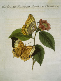Bernard's butterfly / from Bertuch 1809 by AKG  Images