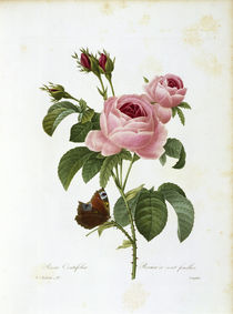 Cabbage Rose / Redouté 1835 by AKG  Images
