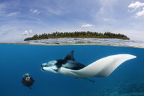 Manta Companionship by Norbert Probst