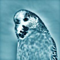 Wellensittich in blau und weiß by kattobello