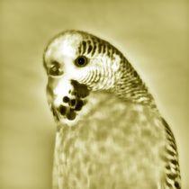 Golden Wellensittich by kattobello