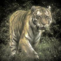Tiger im Nebel by kattobello