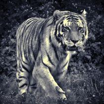 Tiger in schwarz und weiß 3 by kattobello