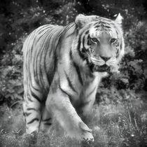 Tiger in schwarz und weiß 2 by kattobello