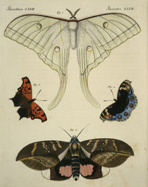 Zoology, entomology, butterflies / engraving by AKG  Images