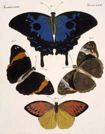 Butterflies / Bertuch 1813 by AKG  Images