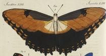 Schmetterling, Hekuba / Bertuch 1810 von AKG  Images
