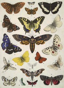 Butterflies / from Bromme 1861 by AKG  Images
