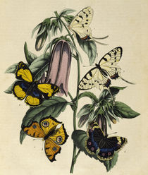 Zoology, entomology, Asian butterflies / lithograph by AKG  Images
