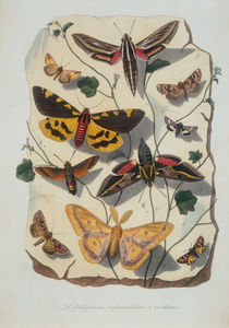 Zoology, Entomology, butterflies and moths / etching by AKG  Images