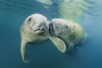 Manatee Couple by Norbert Probst