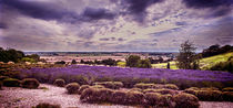 Yorkshire Lavender Panorama von Colin Metcalf