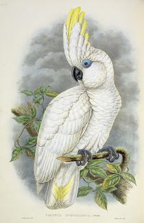 Blue-Eyed Cockatoo by William Hart