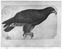 Hawk, from the The Vallardi Album von Antonio Pisanello