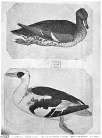 Ducks, from the The Vallardi Album von Antonio Pisanello