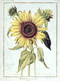 Helianthus Annuus no.71 from 'Velins du Roi Vol.36' von Nicolas Robert
