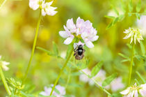Bee and Clover by maxal-tamor