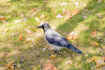 Hooded Crow in Autumn by maxal-tamor