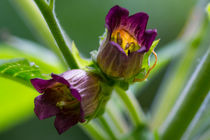 Blüte der Tollkirsche by Ronald Nickel