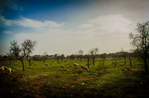 Almond trees and sheeps by vasa-photography