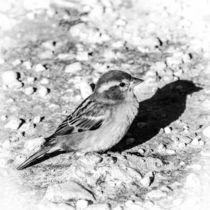 Sparrow - der Spatz by vasa-photography