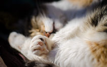 Sun bathing cat by vasa-photography
