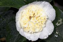 Gelbweisse Kamelie - Camellia japonica L. 'Jury's Yellow' Theaceae von Dieter  Meyer