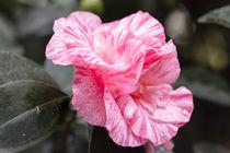 Rosa Kamelie - Camellia japonica L. 'Kick Off' T'heaceae by Dieter  Meyer