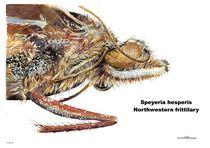 Speyeria hesperis - Northwestern Fritillery Butterfly by Geoff Amos