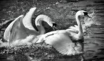 Schwanenliebe in schwarz und weiß 2 by kattobello