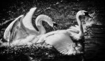 Schwanenliebe in schwarz und weiß 1 by kattobello