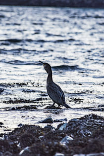 Cormorant fishing in the sea at Scorrybreac, near Portree, Isle of Skye, Scotland by Bruce Parker
