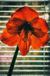 Amaryllis -  Hippeastrum - Ritterstern by Chris Berger