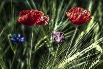 Mohnblumen von frakn