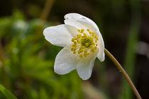 Die Weiße Blüte der Anemone by Ronald Nickel